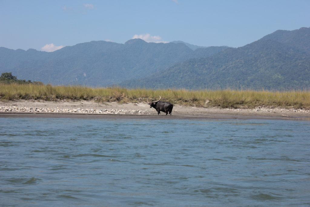 Indian Bison on banks of Manas River