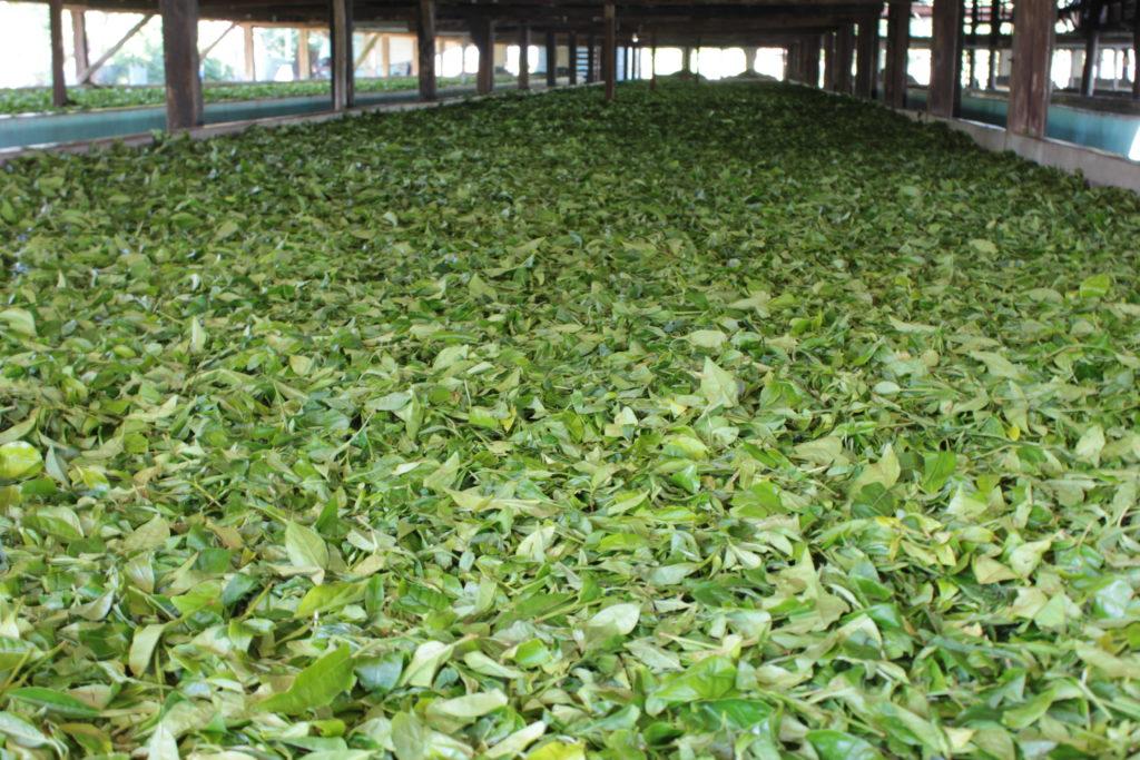Tea gardens outside the Manas National park boundary