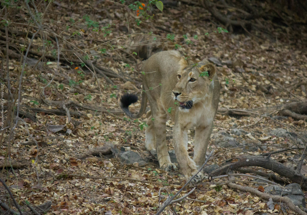 Gir National Park