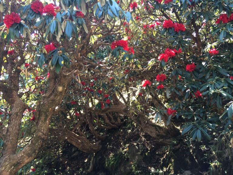 Triund rhododendron trek