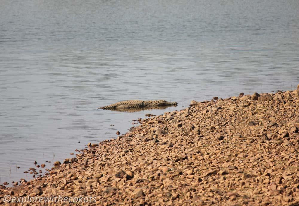 Crocs in Tadoba National Park