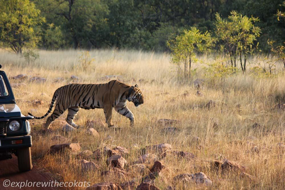 Tadoba National Park tiger sighting