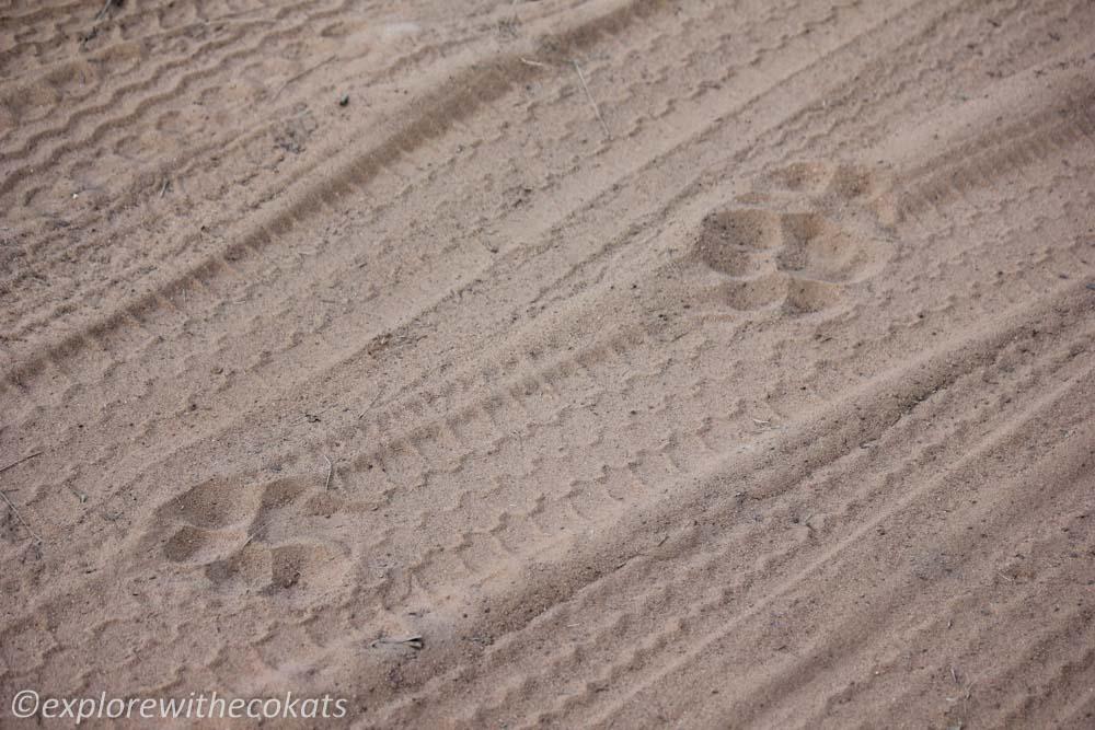 Tadoba National Park tiger pugmark