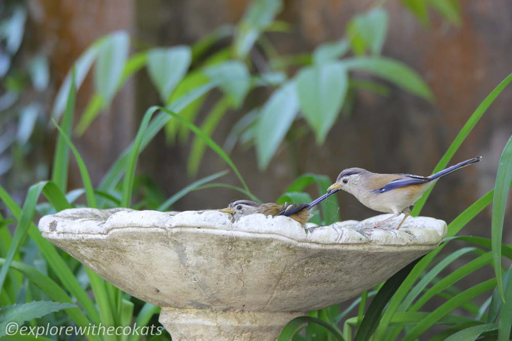 A pair of blue winger siva bathing