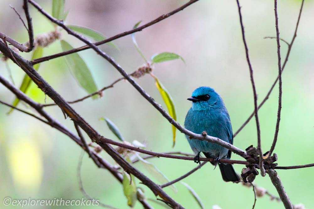 Verditer flycatcher in Kumaon