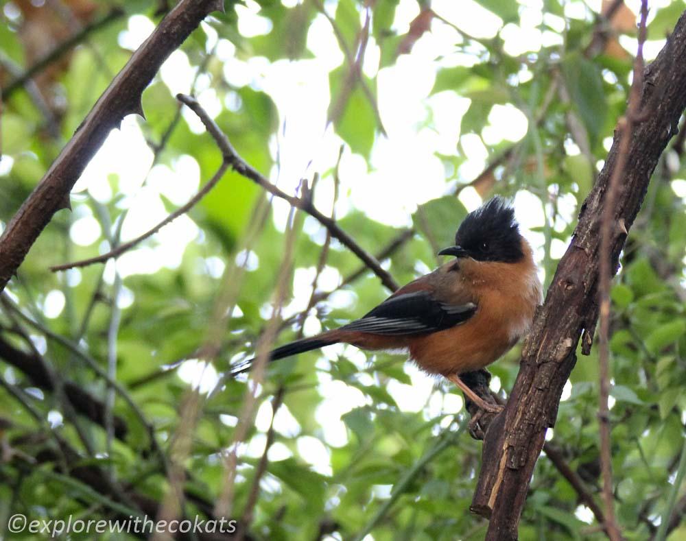 Rufous sibia in Kumaon (Pangot)