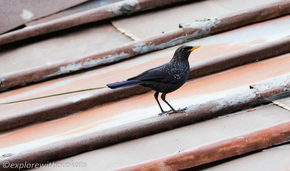 Blue whistling thrush in Kumaon