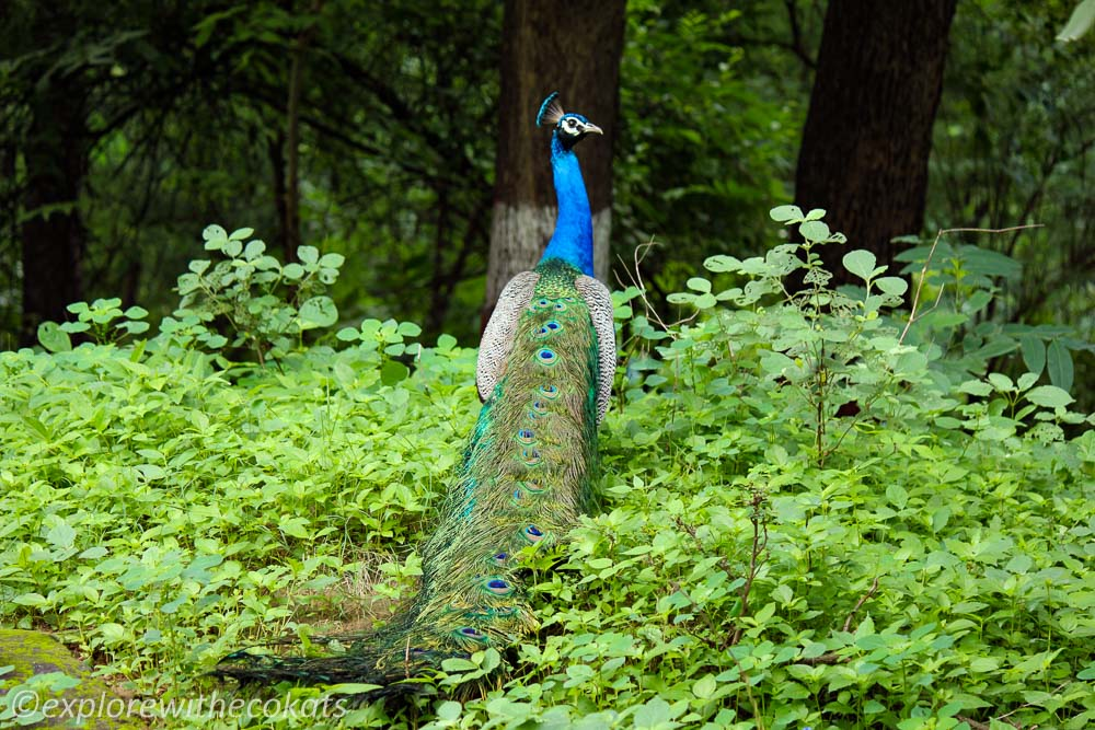 Peacock during one of the vacation in the Indian jungles