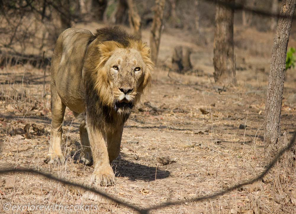 Up and close with Asiatic lion during vacation in the Indian jungles