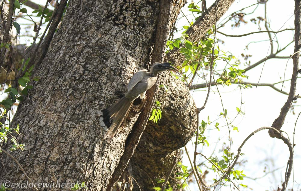 An Indian Grey Hornbill in Jim Corbett Mational Park