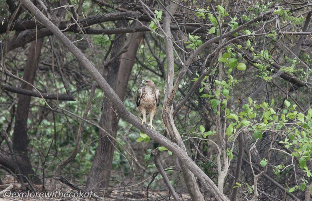 A booted eagle at Jim Corbett National Park