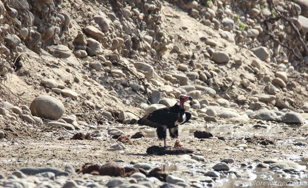 A red headed vulture