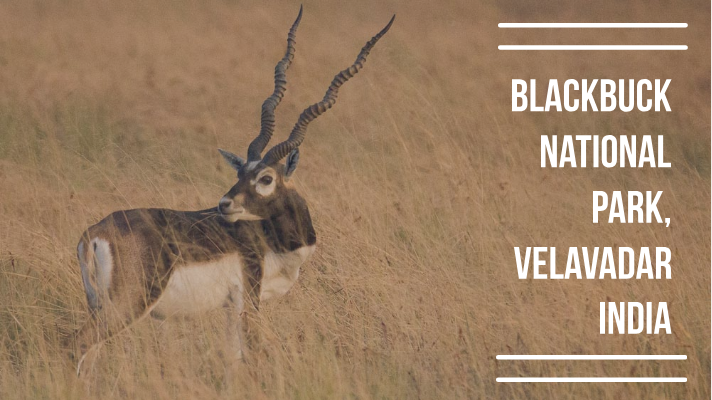 Blackbuck National Park, Velavadar: A guide to the Golden Grasslands - Explore with Ecokats